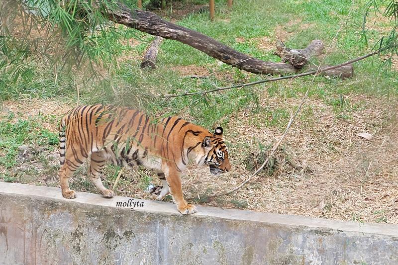 Harimau di Kebun Binatang Medan