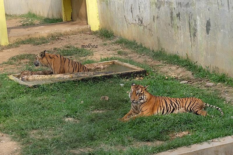 Harimau duduk santai di kebun binatang