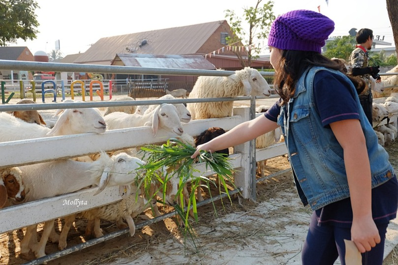 beri makan domba di Swiss Sheep Farm Cha-Am Hua Hin