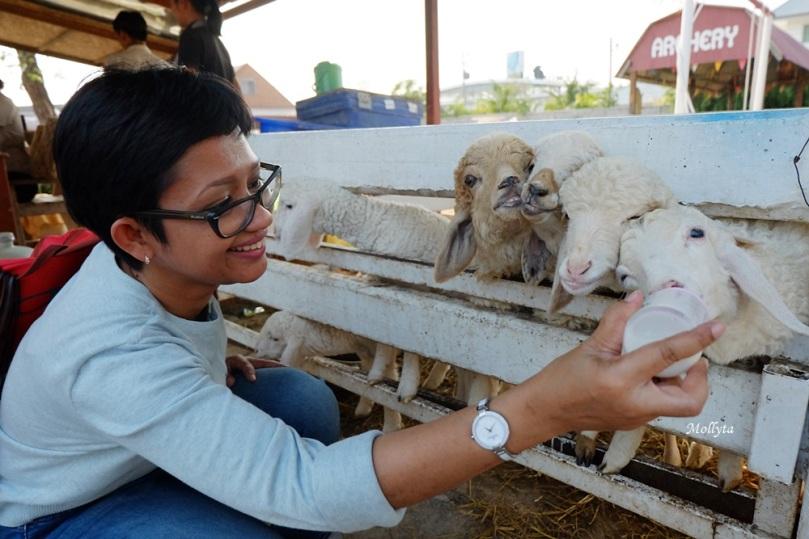 Memberi susu pada anak domba di Swiss Sheep Farm Cha-Am Hua Hin