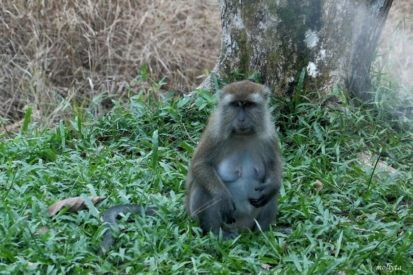Monyet liar di pulau Galang