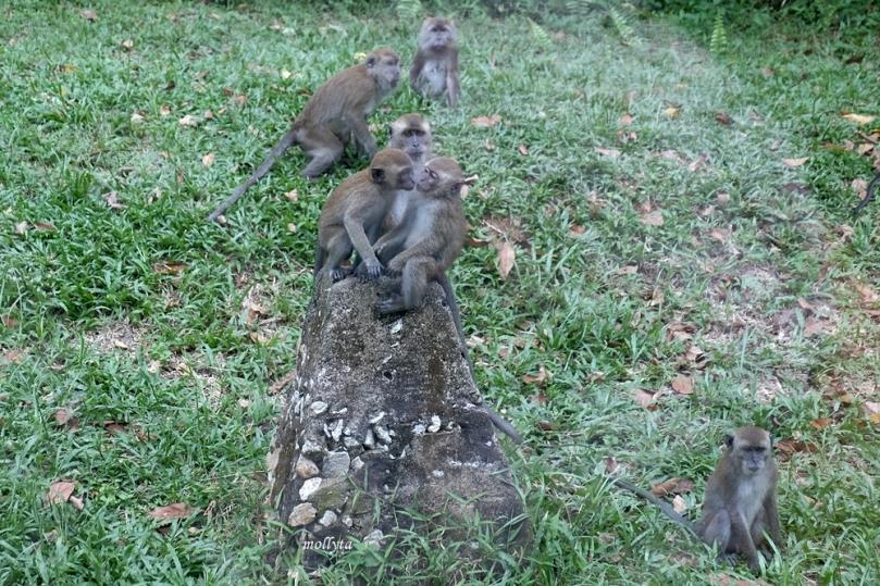 Anak monyet di pulau Galang